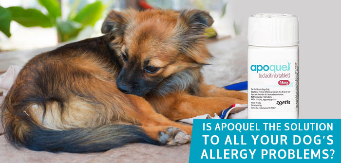 Apoquel Allergy Medicine for dogs