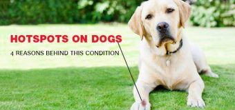 Hotspots on Dogs: 4 Reasons Behind This Condition