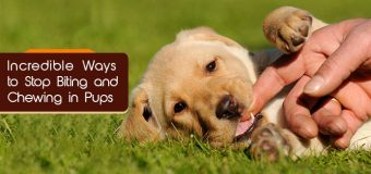 Incredible Ways to Stop Biting and Chewing in Pups