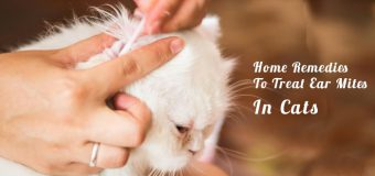 Home Remedies To Treat Ear Mites In Cats